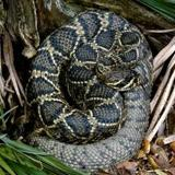 Rattlesnake by Live